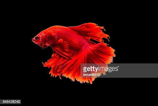 closeup beautiful small siam betta fish with isolate background : Stock Photo