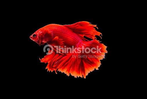closeup beautiful small siam betta fish with isolate background : Stock Photo
