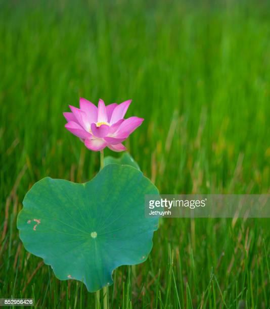 Closeup blooming beautiful pink lotus flower