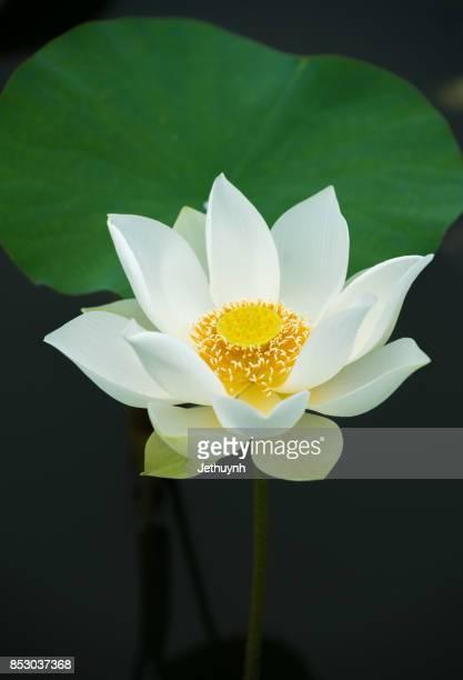 Closeup blooming beautiful white lotus flower
