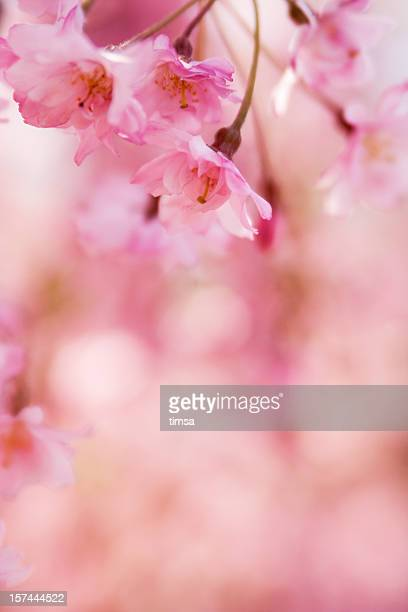 Close-up bokeh image of pink cherry blossom