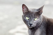 Close-up Chartreux cat