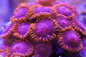 zoanthus coral in aquarium reef tank