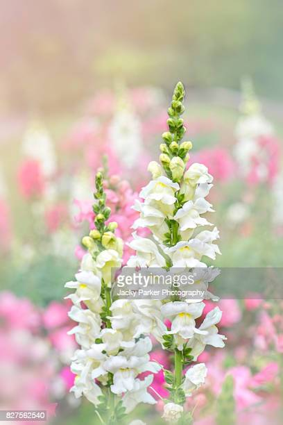 Close-up, creative image of a beautiful white, summer flowering Snap Dragon Flower head also known as Antirrhinum.