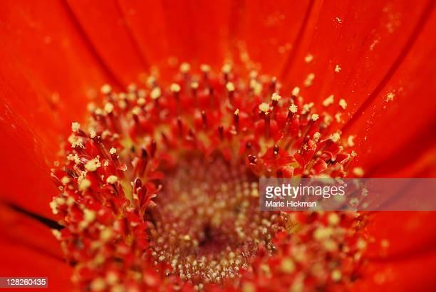 Close-up, cropped, Gerber daisy center, red-orange, with yellow pollen, GERBERA aspleniifolia, Annual