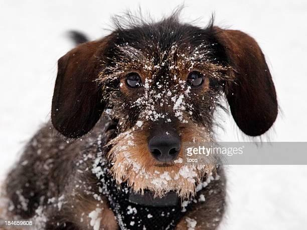 Nahaufnahme-Dackel Welpen Spielen im Schnee