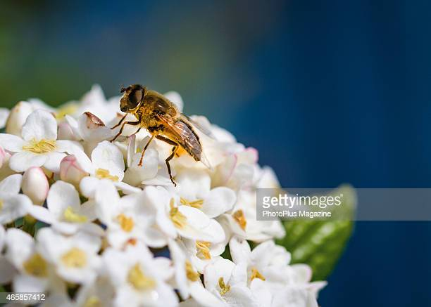 Closeup detail of a hoverfly on a cluster of white flowers taken on April 1 2014
