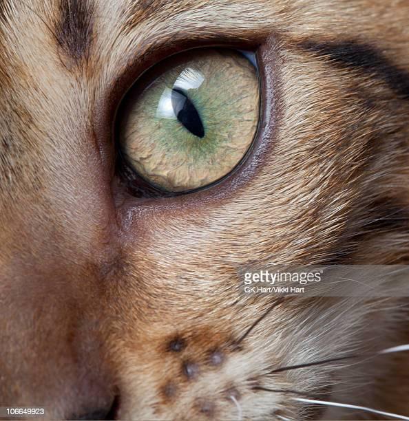 Close-up Eye of Bengal Cat