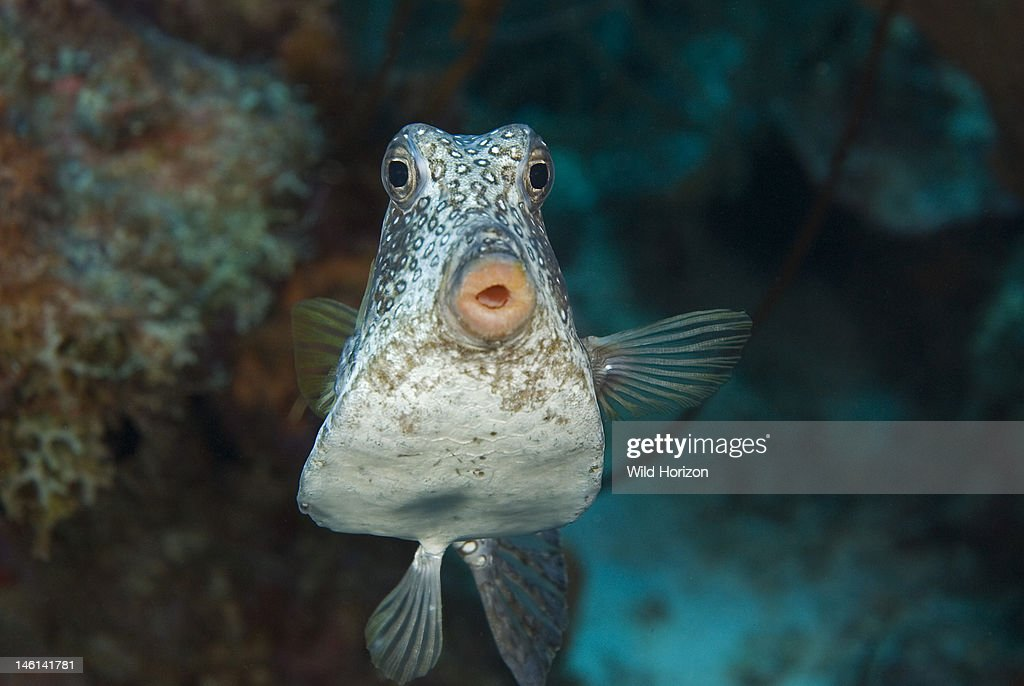 Closeup face shot of smooth trunkfish Lactophrys triqueter Curacao Netherlands Antilles