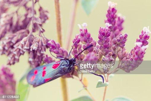 Closeup Five Spot Burnet Moth on purple flower : Stock Photo