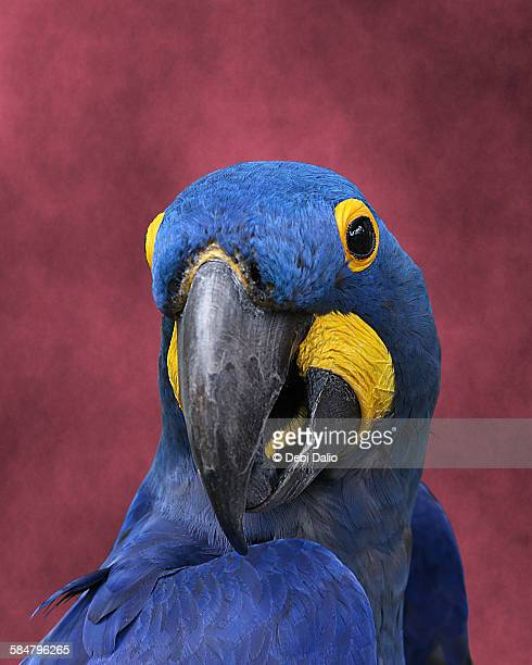 Close-up Front View of Blue Hyacinth Macaw