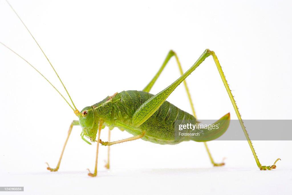 close-up, grasshopper, ganzansicht, colored, alfred