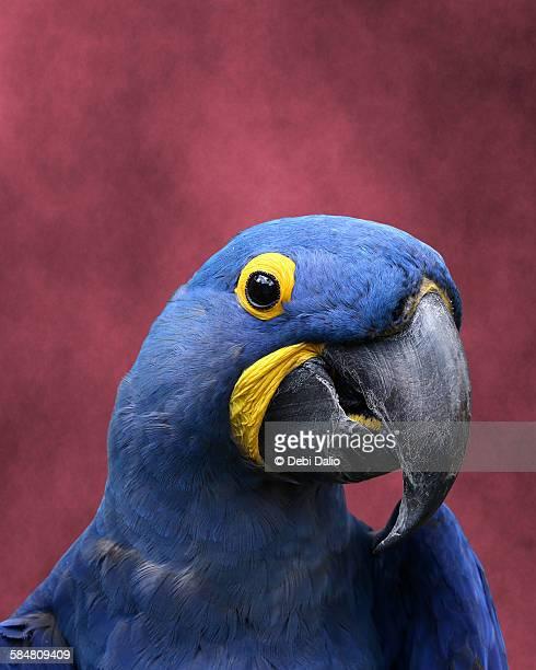 Close-up Head Shot of a Hyacinth Macaw