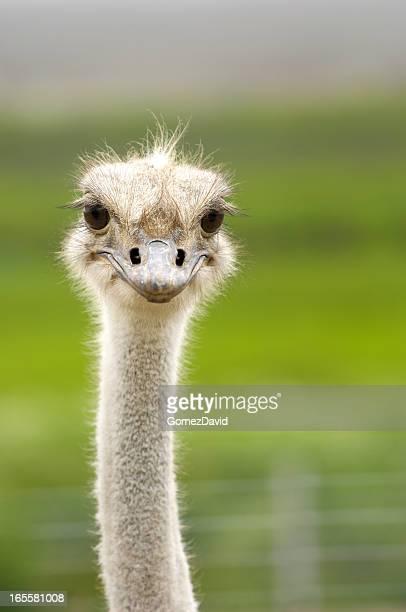 Close-up Head Shot of One Ostrich