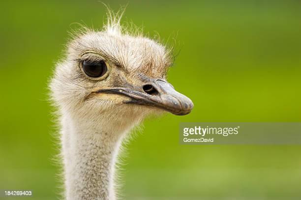 Primer plano tiro de cabeza de un avestruz