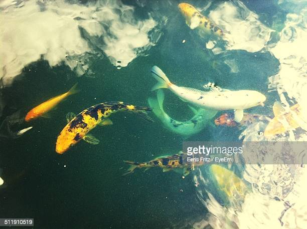 Close-up high angle view of Koi fish in water