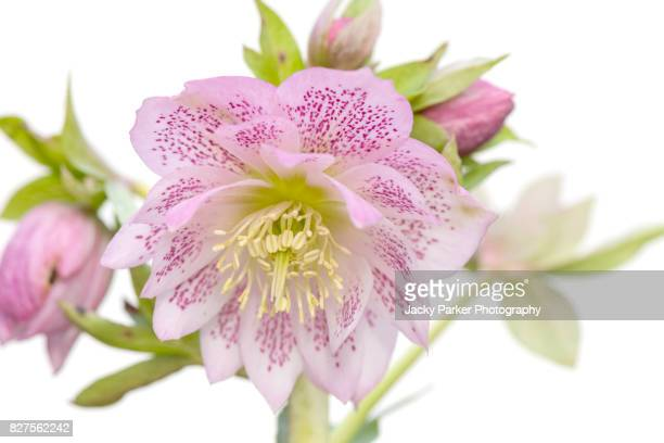 Close-up, High-key image of a beautiful Spring flowering pink Hellebore, also known as the Lenten or Christmas Rose.