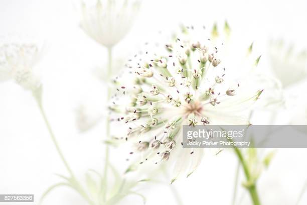 Close-up, high-key image of Astrantia major white flowers also known as Masterwort.