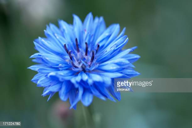 Closeup image of a blue cornflower with a blurred background