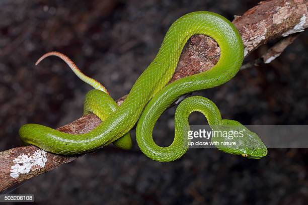 Close-up image of a green Siamese Peninsula Pit Viper