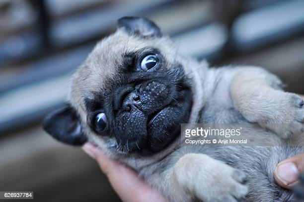Close-up Image of a Pug Puppy Looking at the Camera