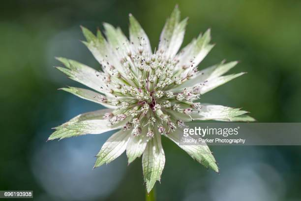 Close-up image of a single, white, summer Astrantia major flower also known as Masterwort.