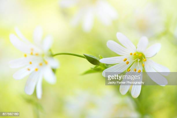 Close-up image of Greater Stitchwort White Summer Wildflowers