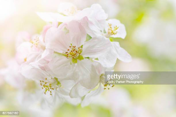 Close-up image of Spring white Apple Blossom Flowers in sunshine