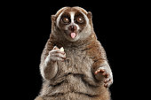 Close-up Face of Funny Animal Lemur Slow Loris Sitting and Showing Tongue Isolated Black background