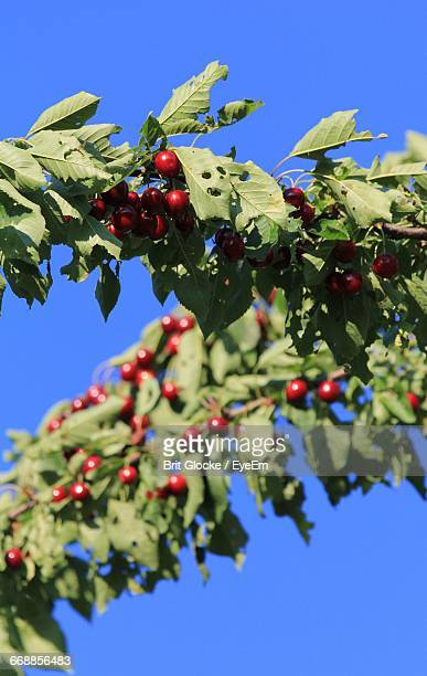 Close-Up Low Angle View Of Berries On Tree