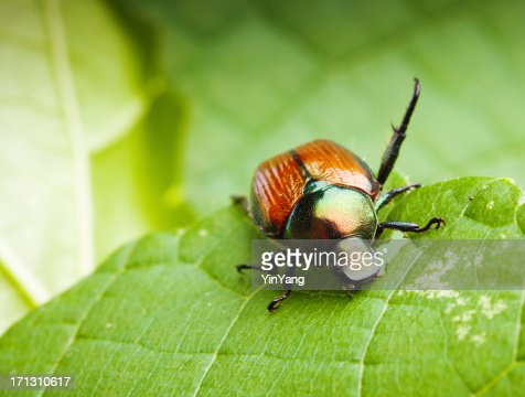 Close-up Macro of a Japanese Beetle Feeding on Leaves Hz