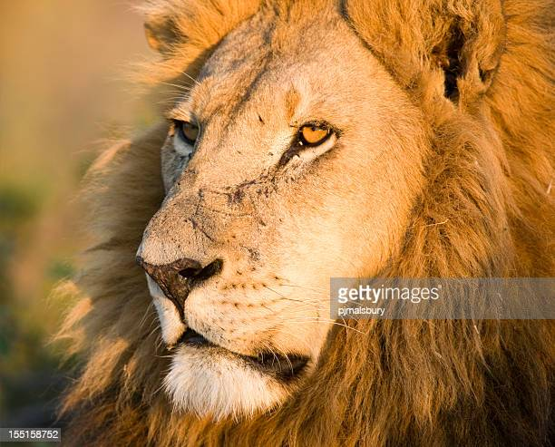 Close-up Male Lion