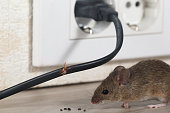 Close-up mouse sits near chewed wire  in an apartment kitchen on the background of the wall and electrical outlet . Inside high-rise buildings. Fight with mice in the apartment. Extermination. Small D