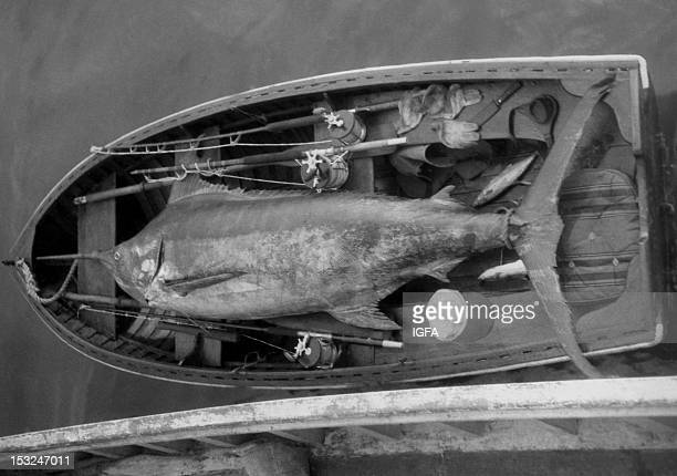 Closeup of a 425 pound blue marlin lying in a fishing boat surrounded by fishing tackle and equipment in Port Cabanas Cuba circa 1940