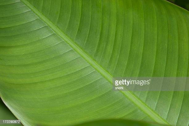 Close-up of a Banana Leaf 1