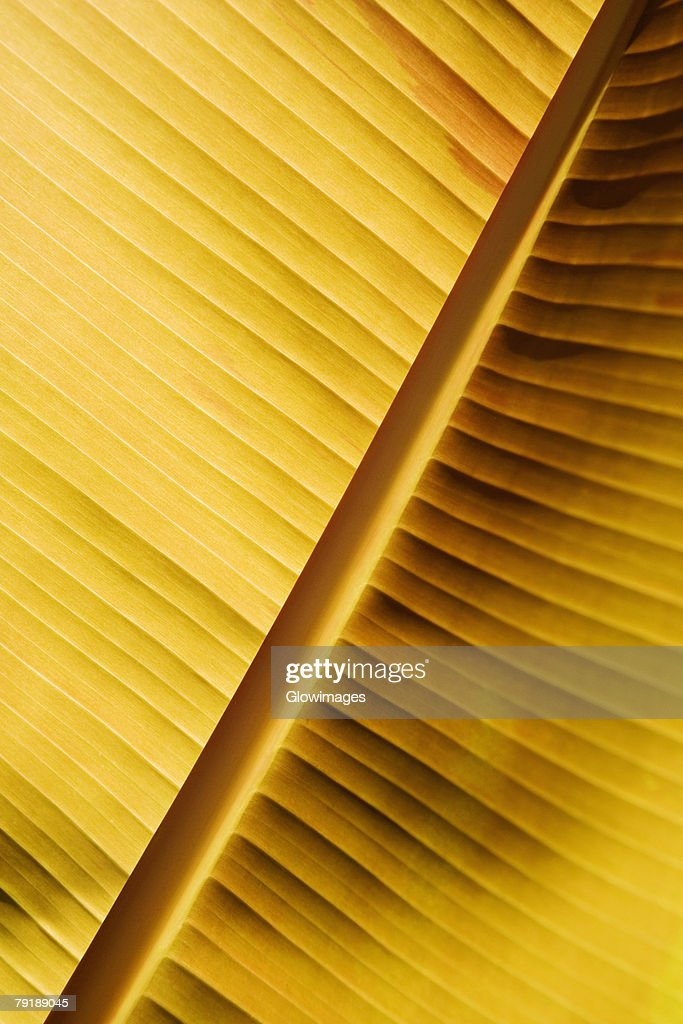 Close-up of a banana leaf, Hawaii Tropical Botanical Garden, Hilo, Big Island, Hawaii Islands, USA : Foto de stock
