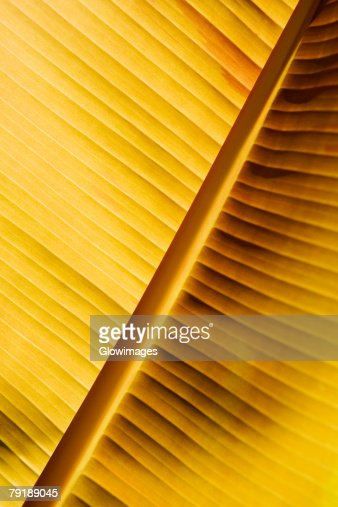 Close-up of a banana leaf, Hawaii Tropical Botanical Garden, Hilo, Big Island, Hawaii Islands, USA : Foto de stock