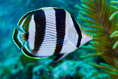 Close-up of a Banded Butterflyfish.