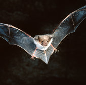 Close-up of a bat flying