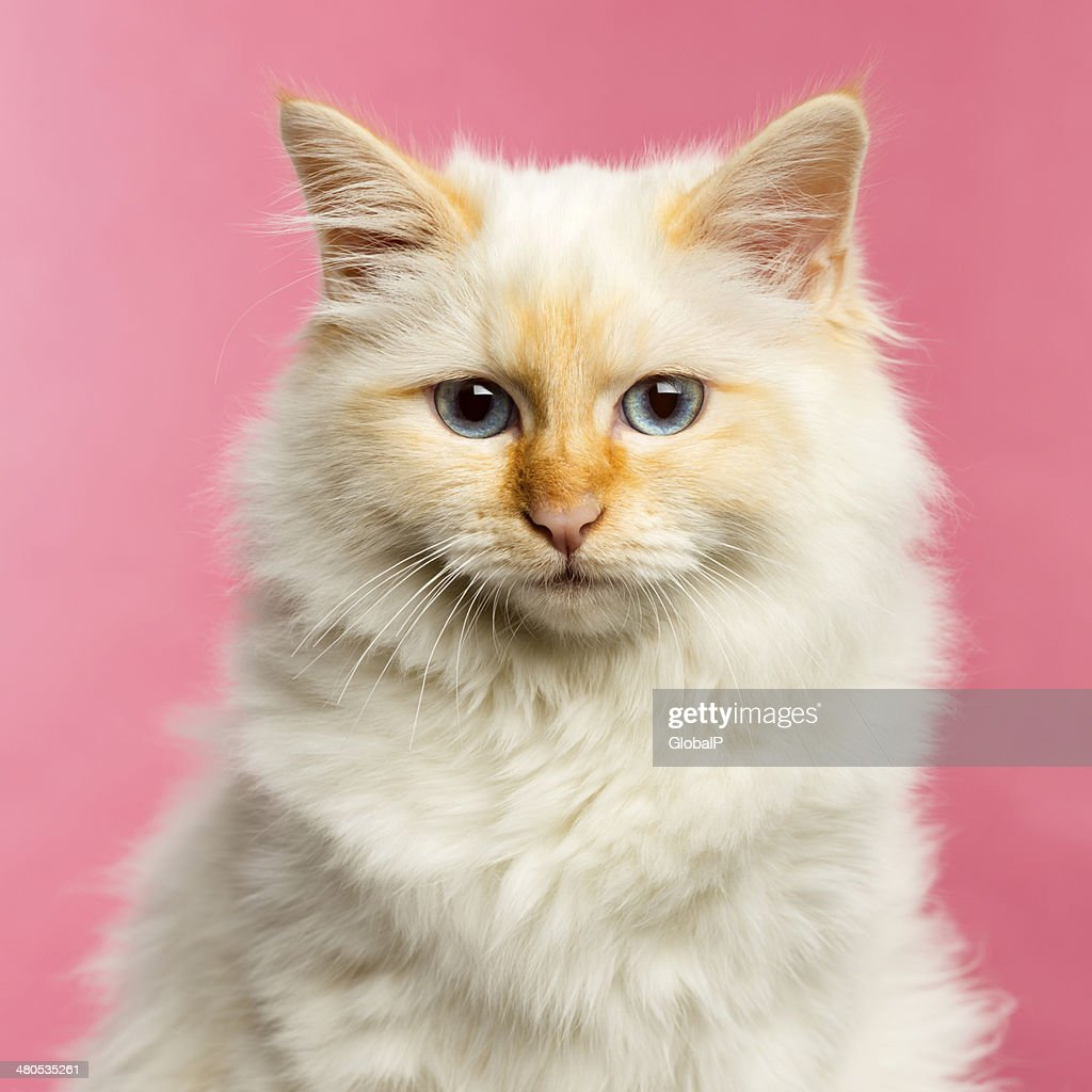 Close-up of a Birman cat, 5 months old : Stock Photo