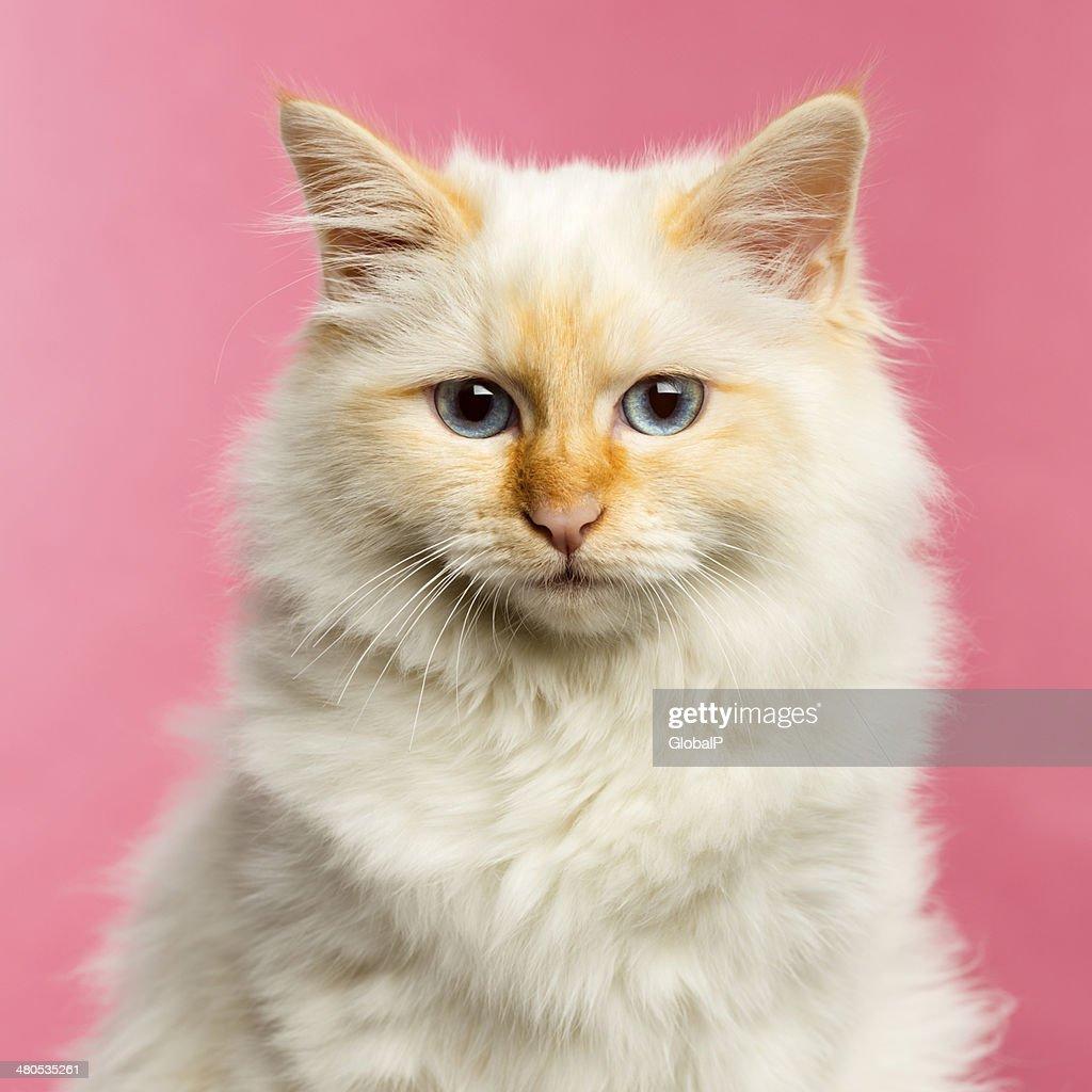 Nahaufnahme eines Birmakatze Katze, 5 Monate alt : Stock-Foto