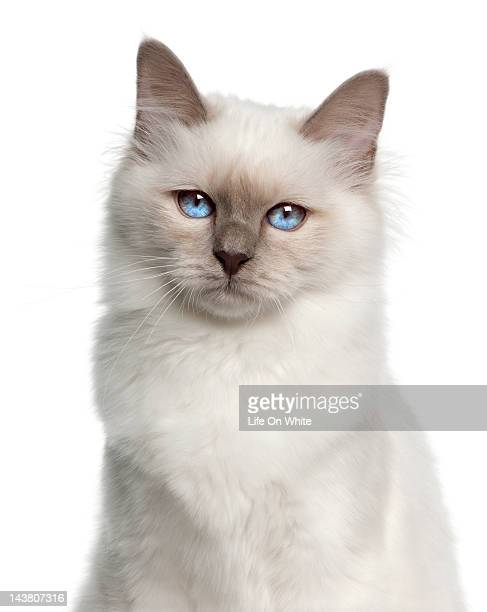 Close-up of a Birman (5 months old)