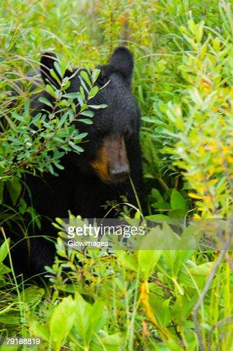 Close-up of a Black bear (Ursus americanus) : Foto de stock