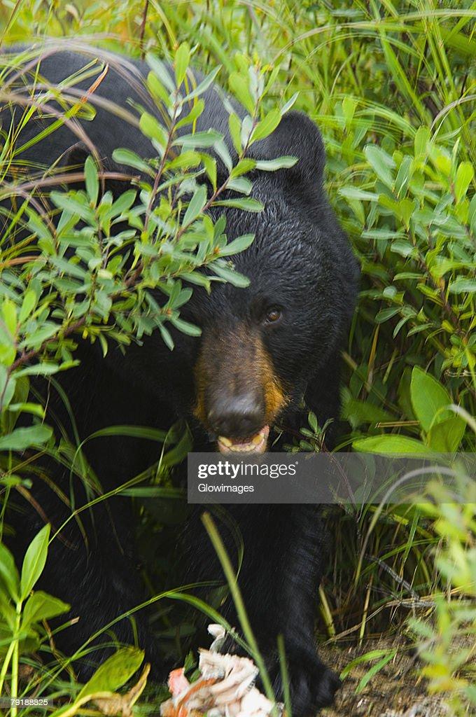 Close-up of a Black bear (ursus americanus) : Stock Photo