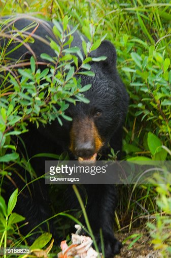 Close-up of a Black bear (ursus americanus) : Foto de stock