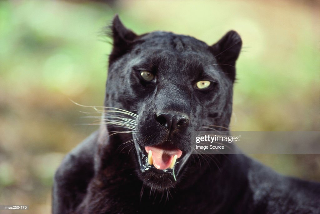 Close-up of a black panther : Stock Photo