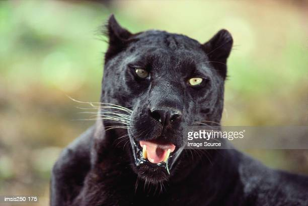 Close-up of a black panther