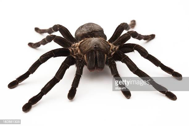 Close-up of a black tarantula over a white background
