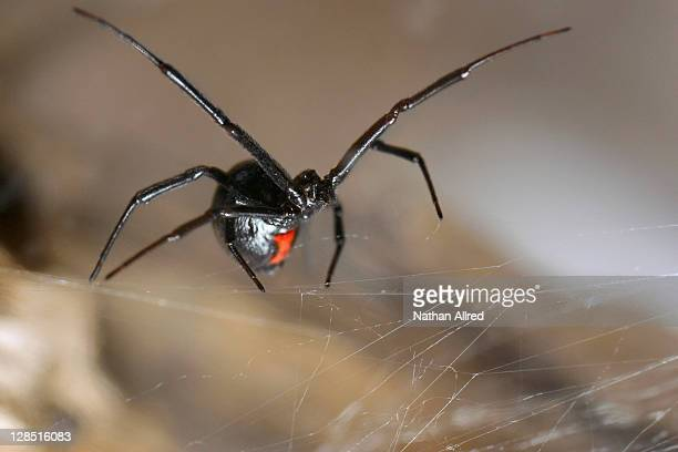 Close-up of a Black widow spider