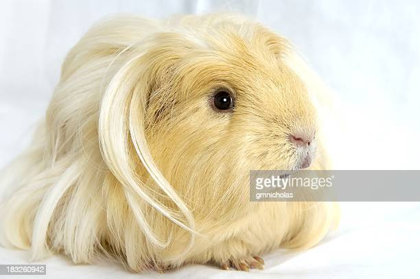 Close-up of a blond Guinea pig looking away from camera